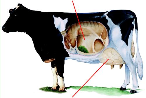 Pensverzuring koeien