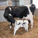 melkziekte bij koeien